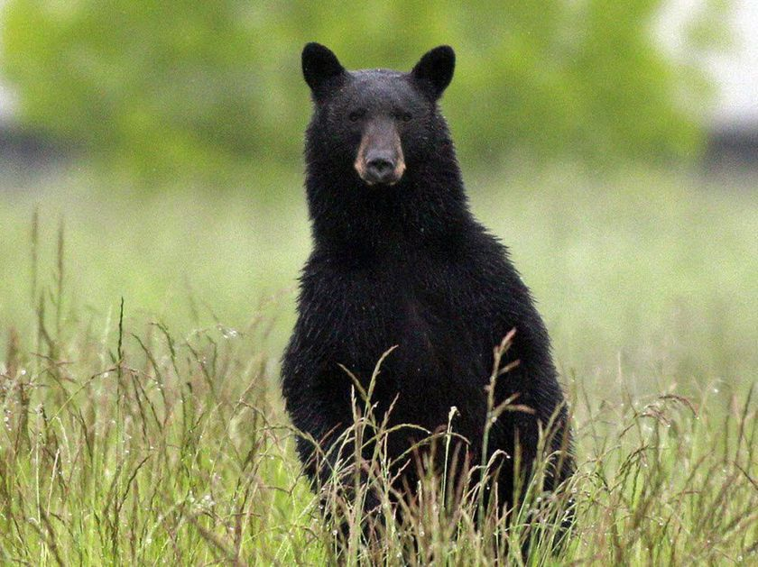 black bear standing up in a field