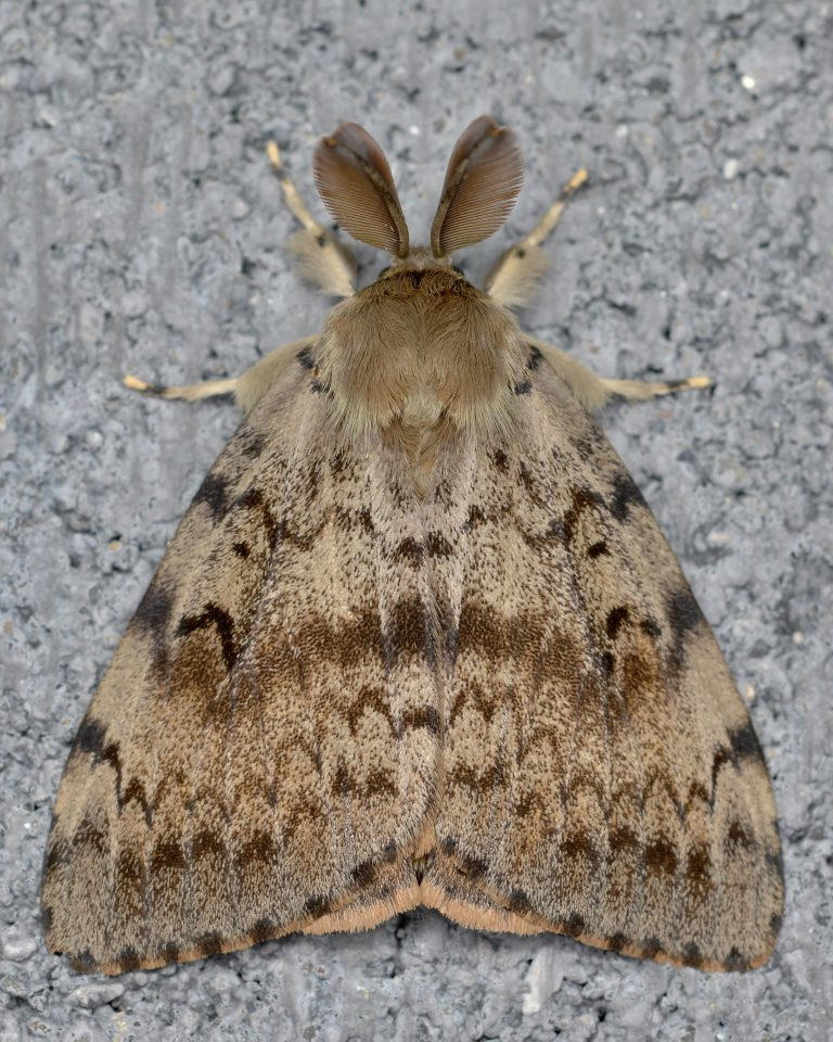 Gypsy moth adult, top view