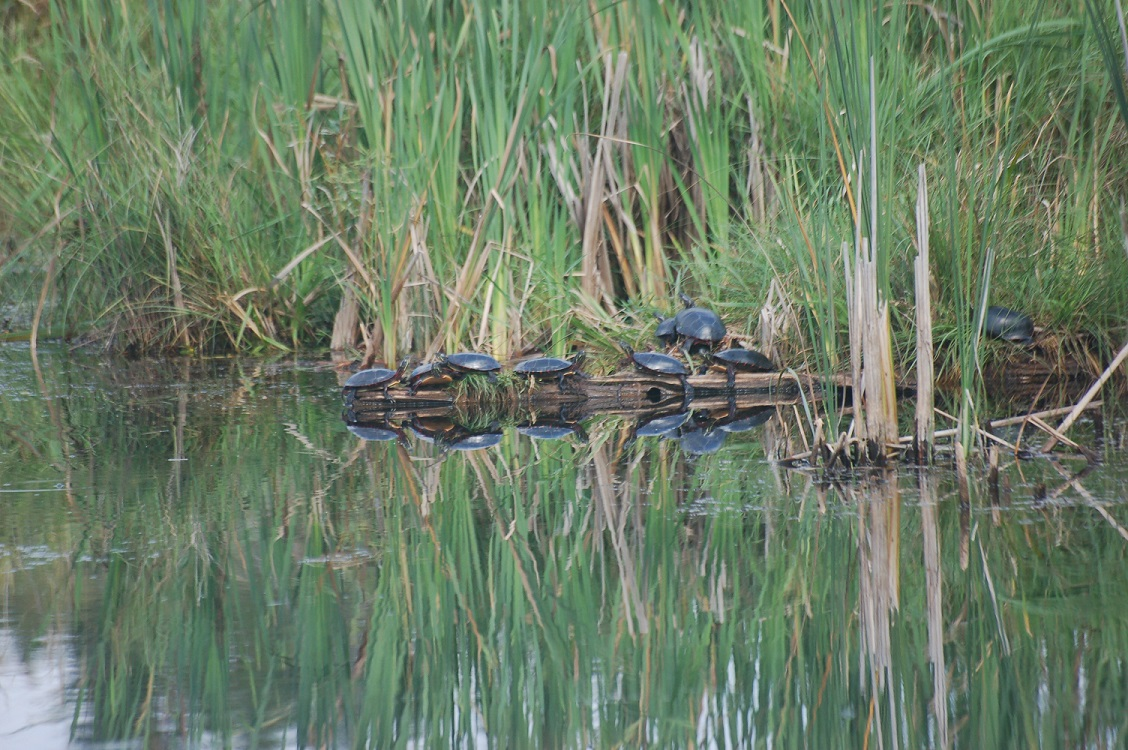 9 turtles on a log in the marsh