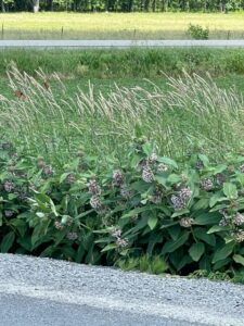 milkweed along the roadside with a monarch butterfly