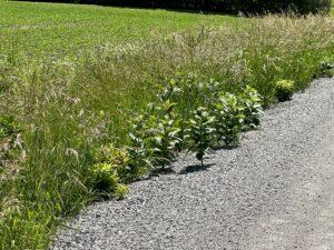 milkweed along the roadside