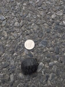 baby turtle next to a quarter to show it's size